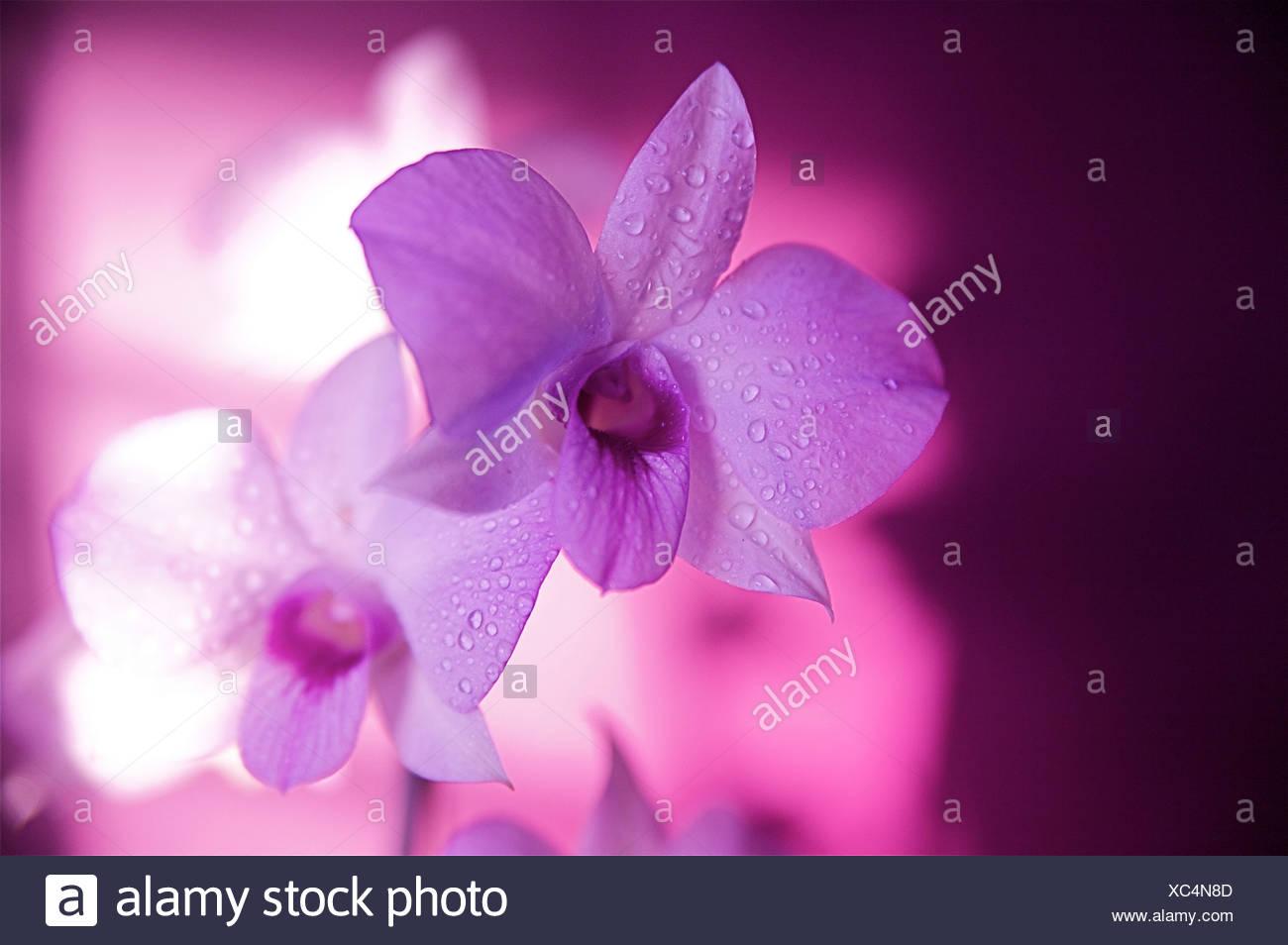 Hawaii kauai orchidea bianca con illuminazione di colore rosa foto