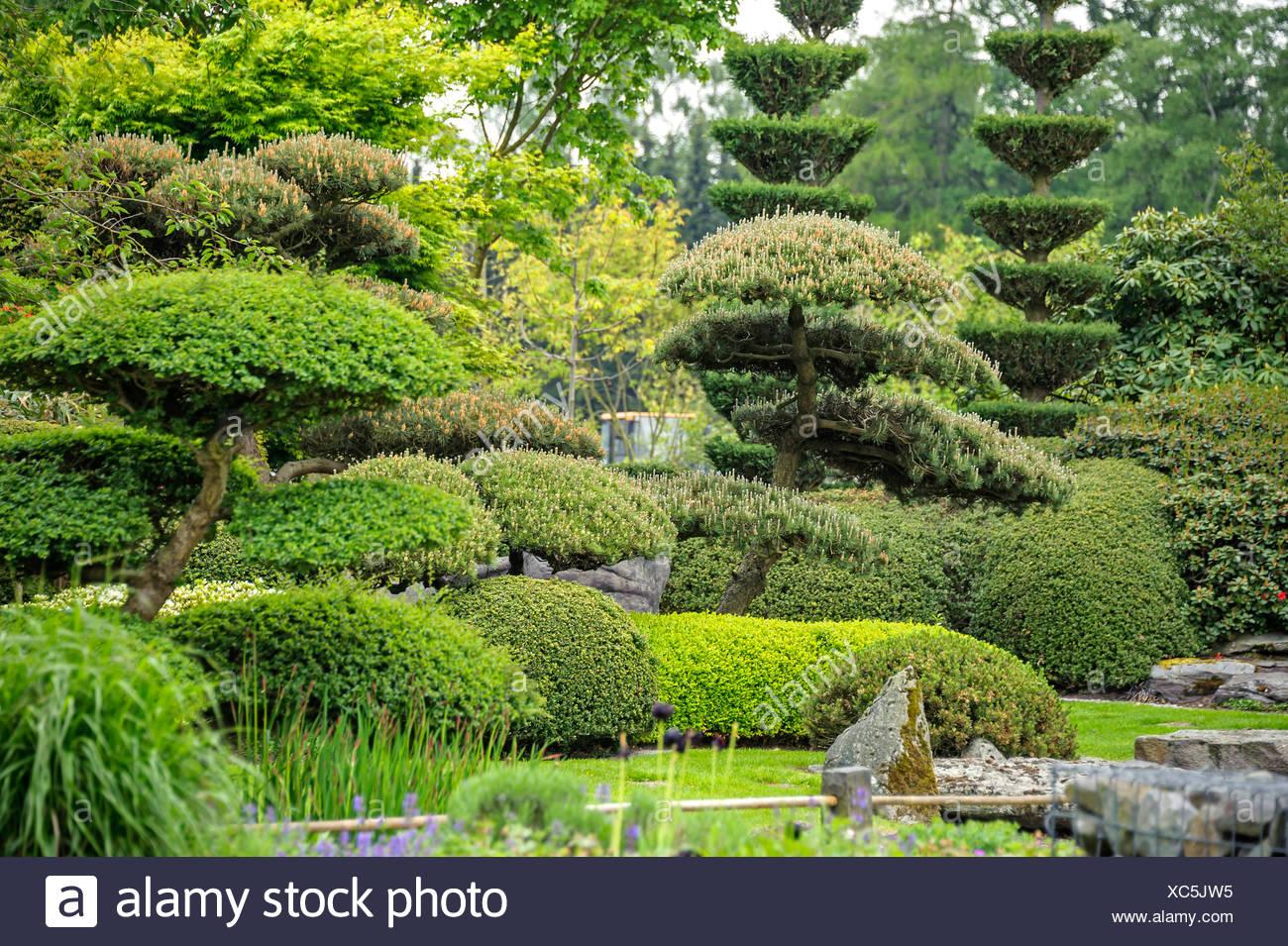 Pino Mugo, Pino Mugo (Pinus Mugo), Giardino Giapponese