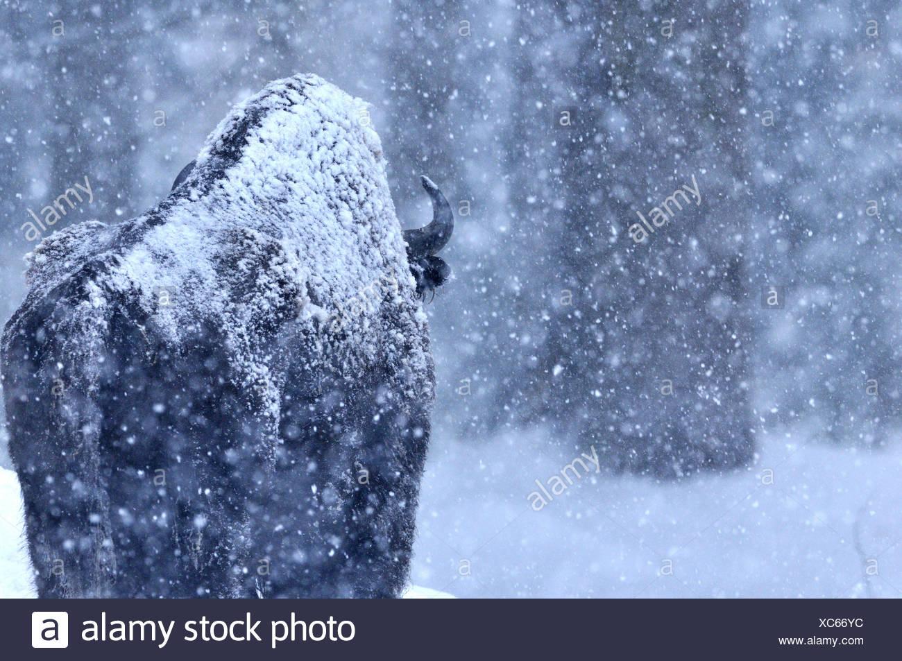 Bison bison bonasus Bovinae bovini bufali di corna di bovini selvaggi-ungulato bisonti bisonti d'inverno la neve animale germe di animali Immagini Stock
