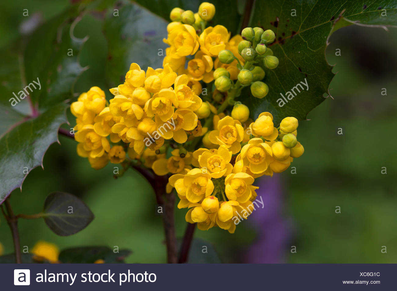 Fiori Gialli Germania.Fiori Gialli Di Oregon Uva Mahonia Aquifolium Baviera Germania