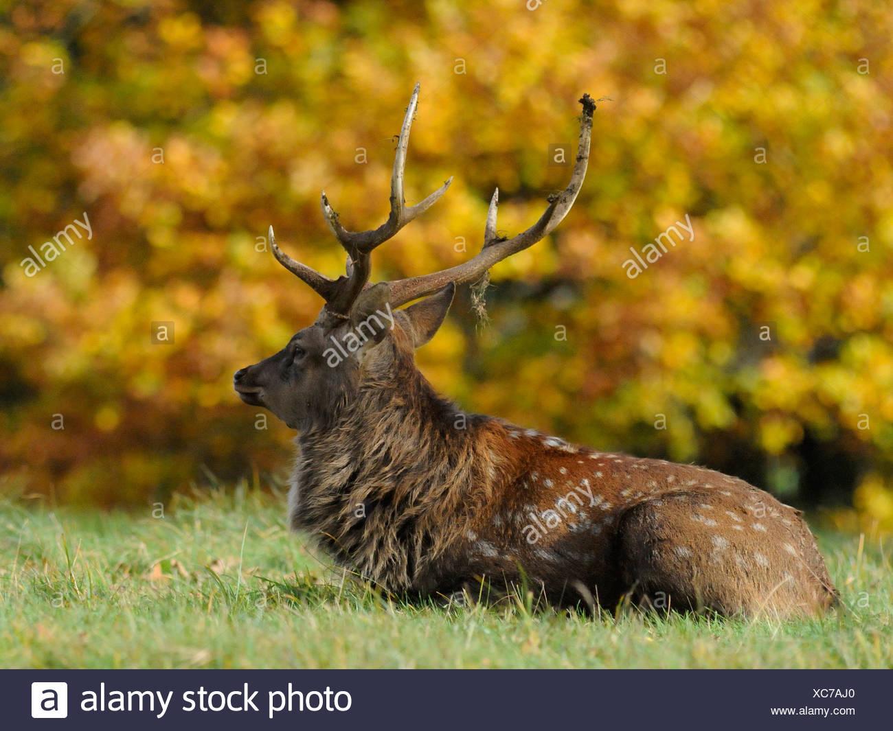 Un cervo rosso rilassante contro il fogliame di autunno. Immagini Stock