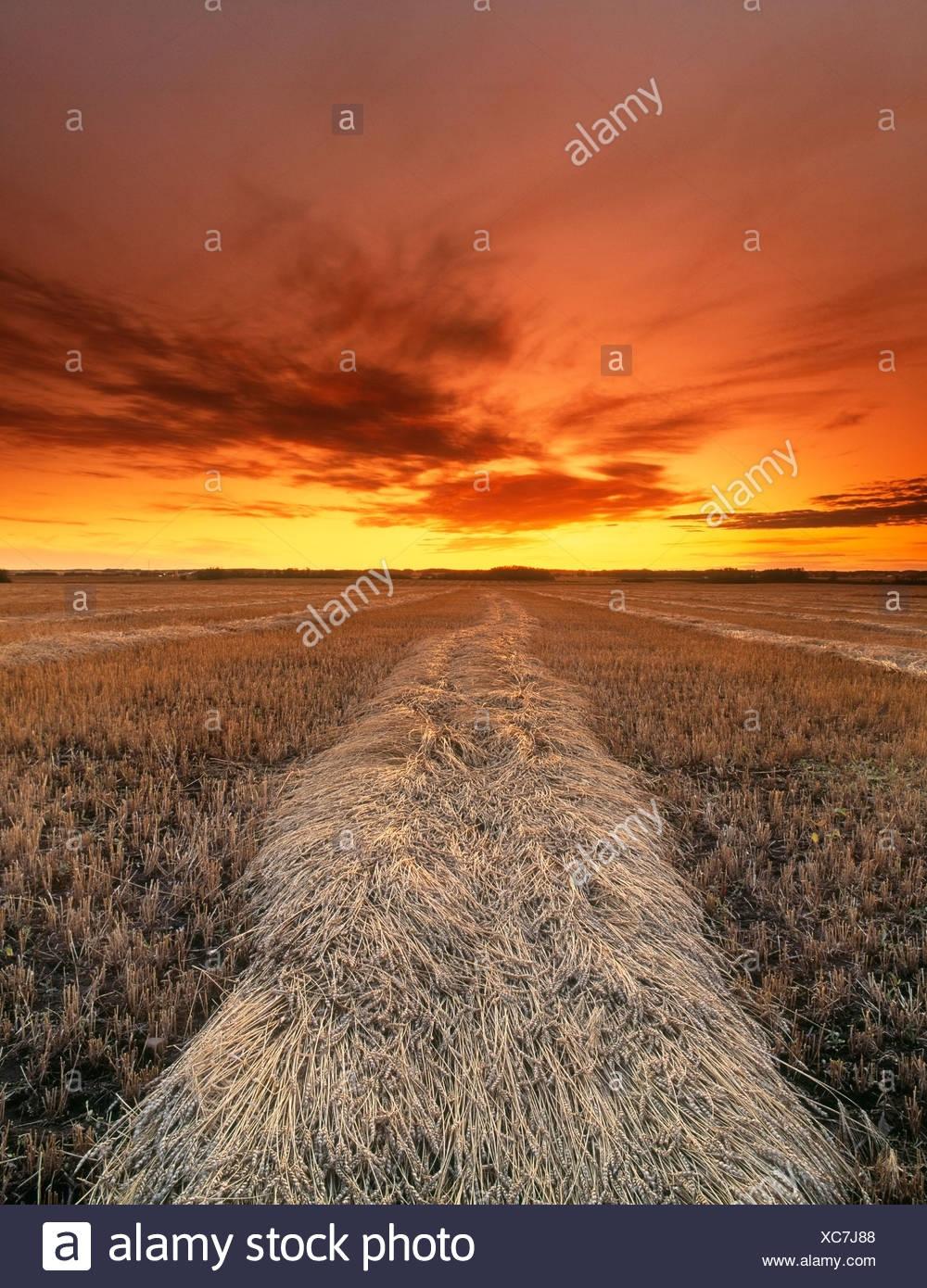 Raccolte di raccolto di grano al tramonto in autunno, Leduc, Alberta, Canada Immagini Stock