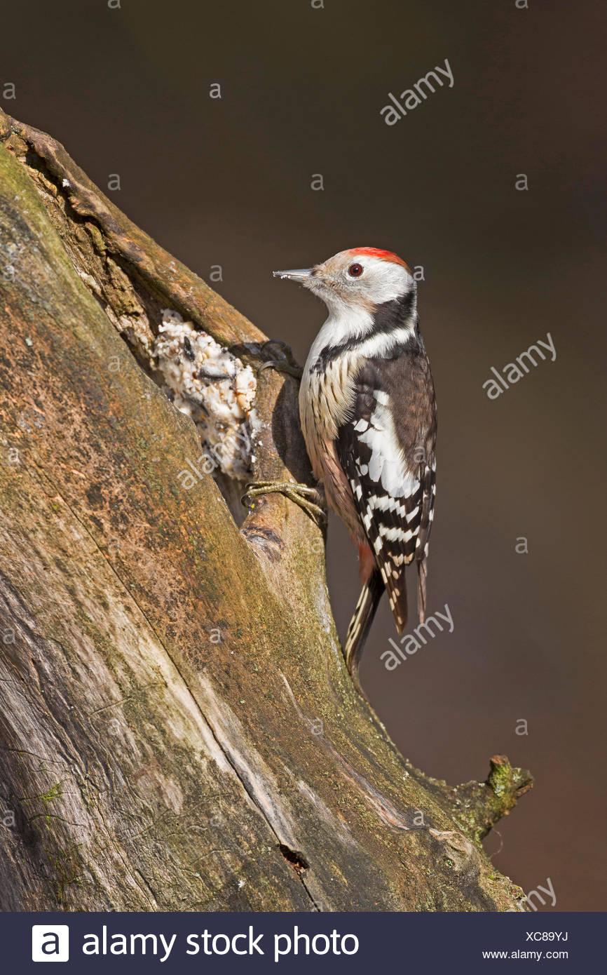 Medio macchie Picchio (Picoides medius, Dendrocopos medius), la ricerca di cibo in un marcio tronco di albero, fatti a mano di alimentazione di uccelli, il grasso alimentare distribuiti in crepe, Germania Immagini Stock