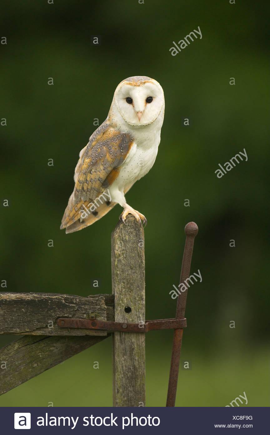 Il barbagianni (Tyto alba) sorge su un antico cancello al crepuscolo. Immagini Stock