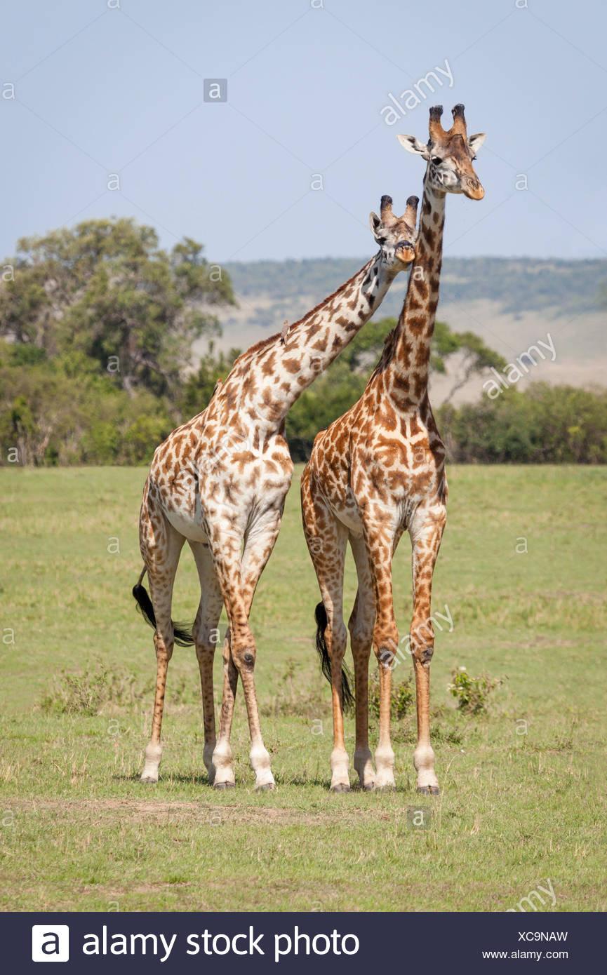 Amicizia simpatia giraffa Immagini Stock