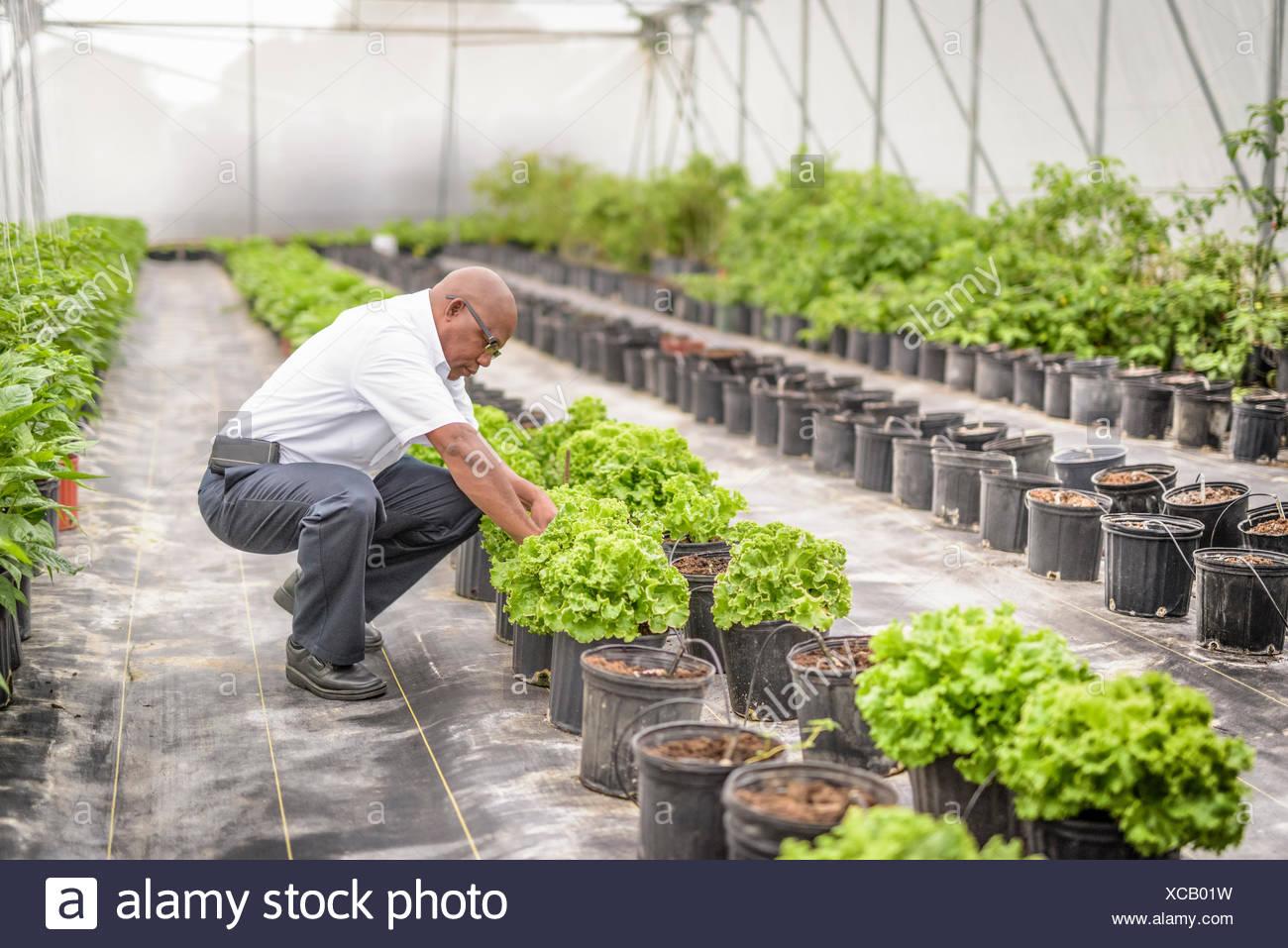 Manager di ispezionare le lattughe piante di coltura idroponica in fattoria in Nevis, West Indies Immagini Stock