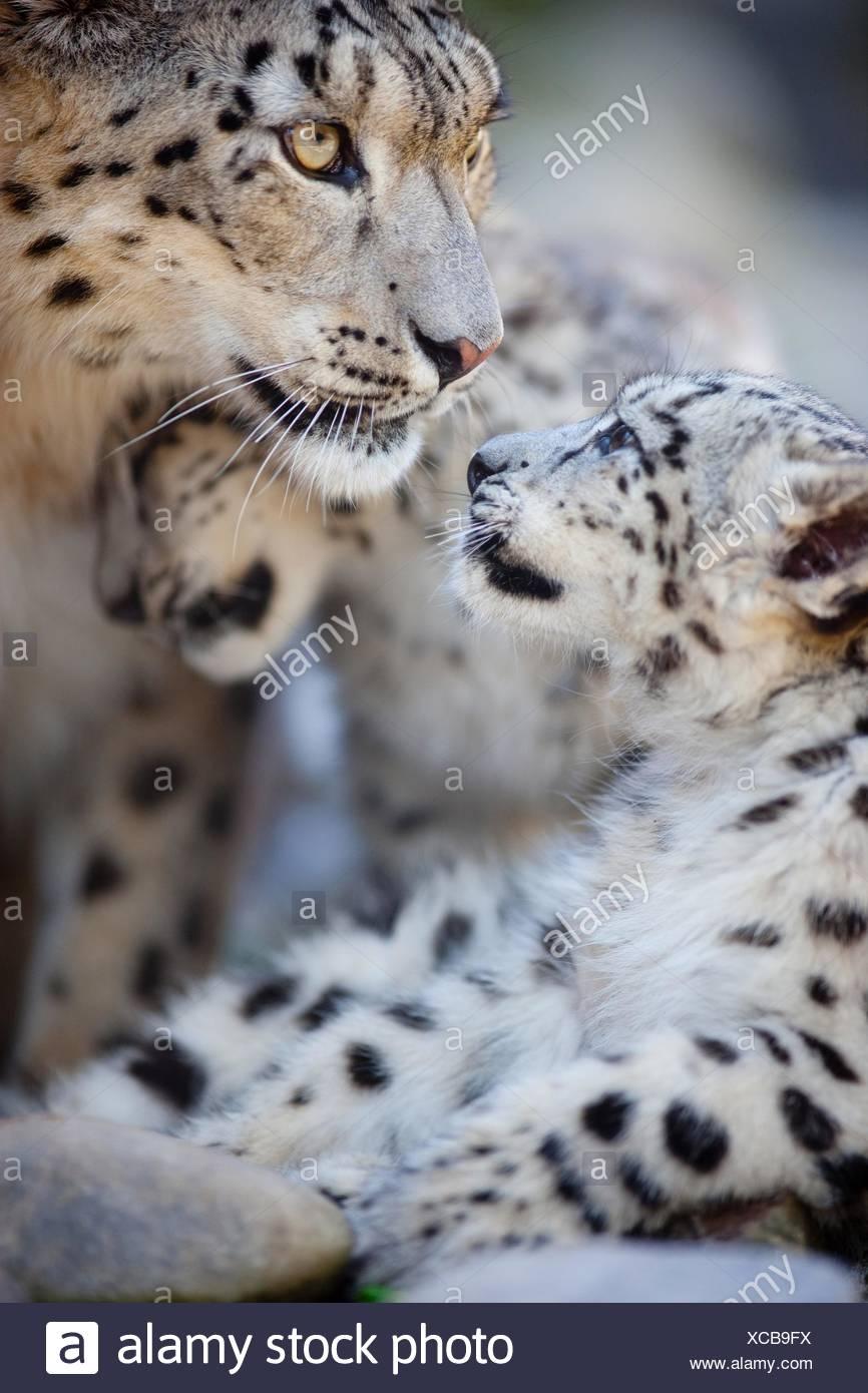 Leopardi delle nevi Immagini Stock
