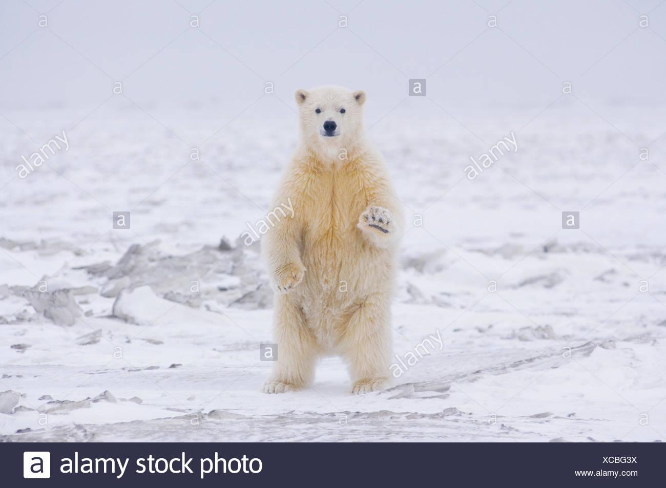 Orso polare (Ursus maritimus) curioso cub sorge sulla neonata autunno pack ghiaccio, spento il baratto isola l'Artico National Wildlife Refuge, Alaska Immagini Stock