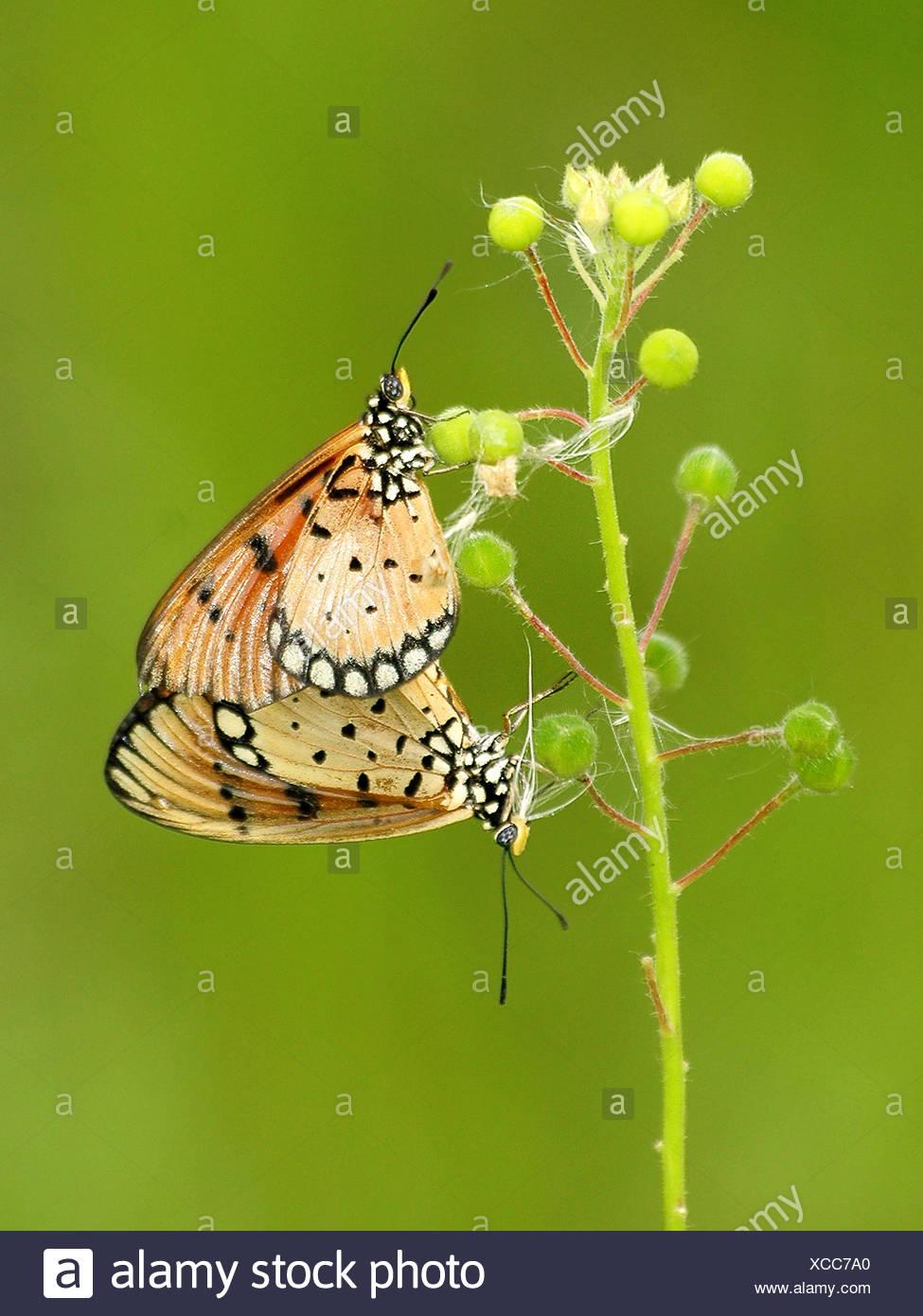 Due farfalle su una pianta stelo Immagini Stock