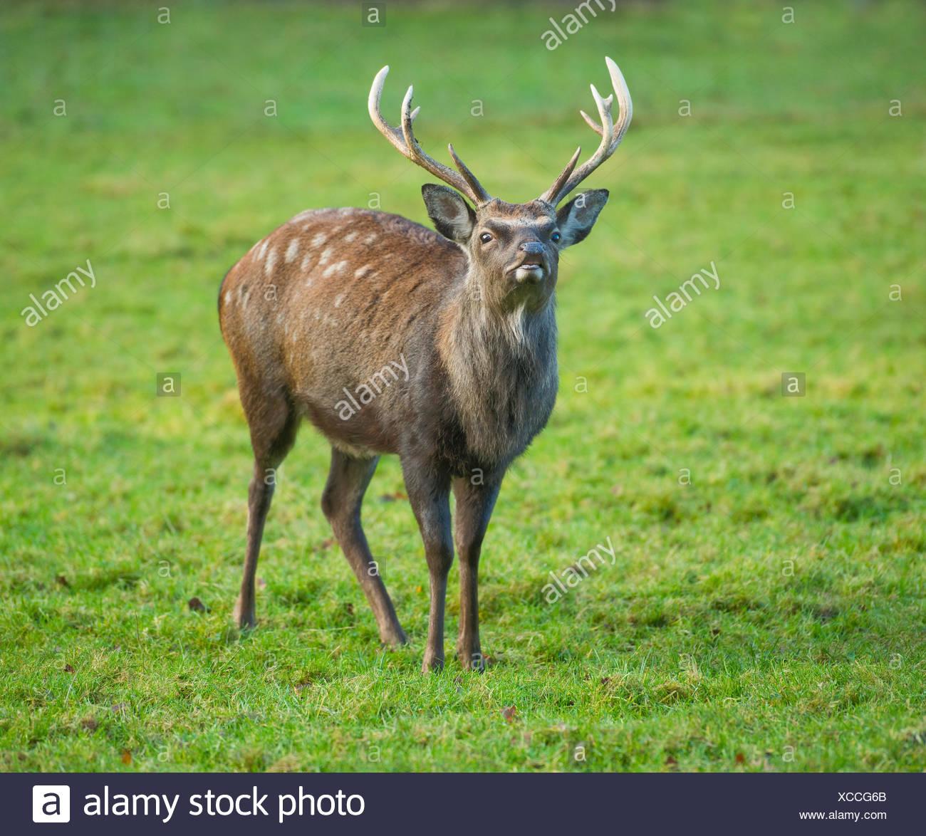 Sika cervo (Cervus nippon), flehmening, captive, Bassa Sassonia, Germania Immagini Stock