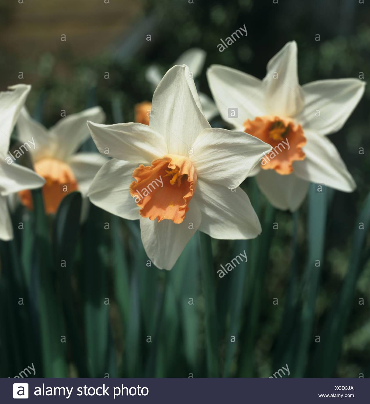 Fiori di Narciso Accent Immagini Stock