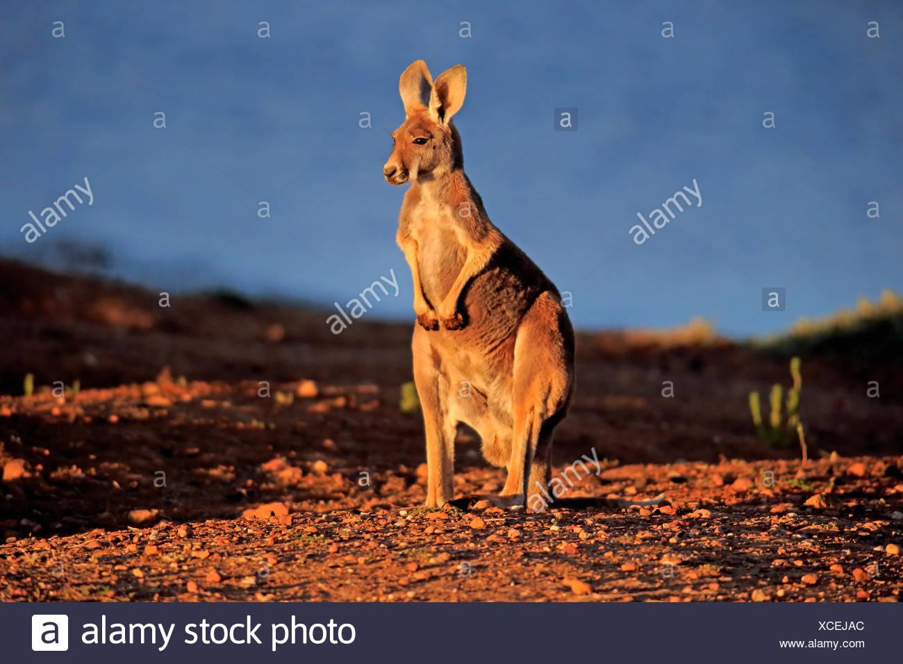 Canguro rosso, adulto, Sturt Nationalpark, Nuovo Galles del Sud, Australia / (Macropus rufus) Immagini Stock