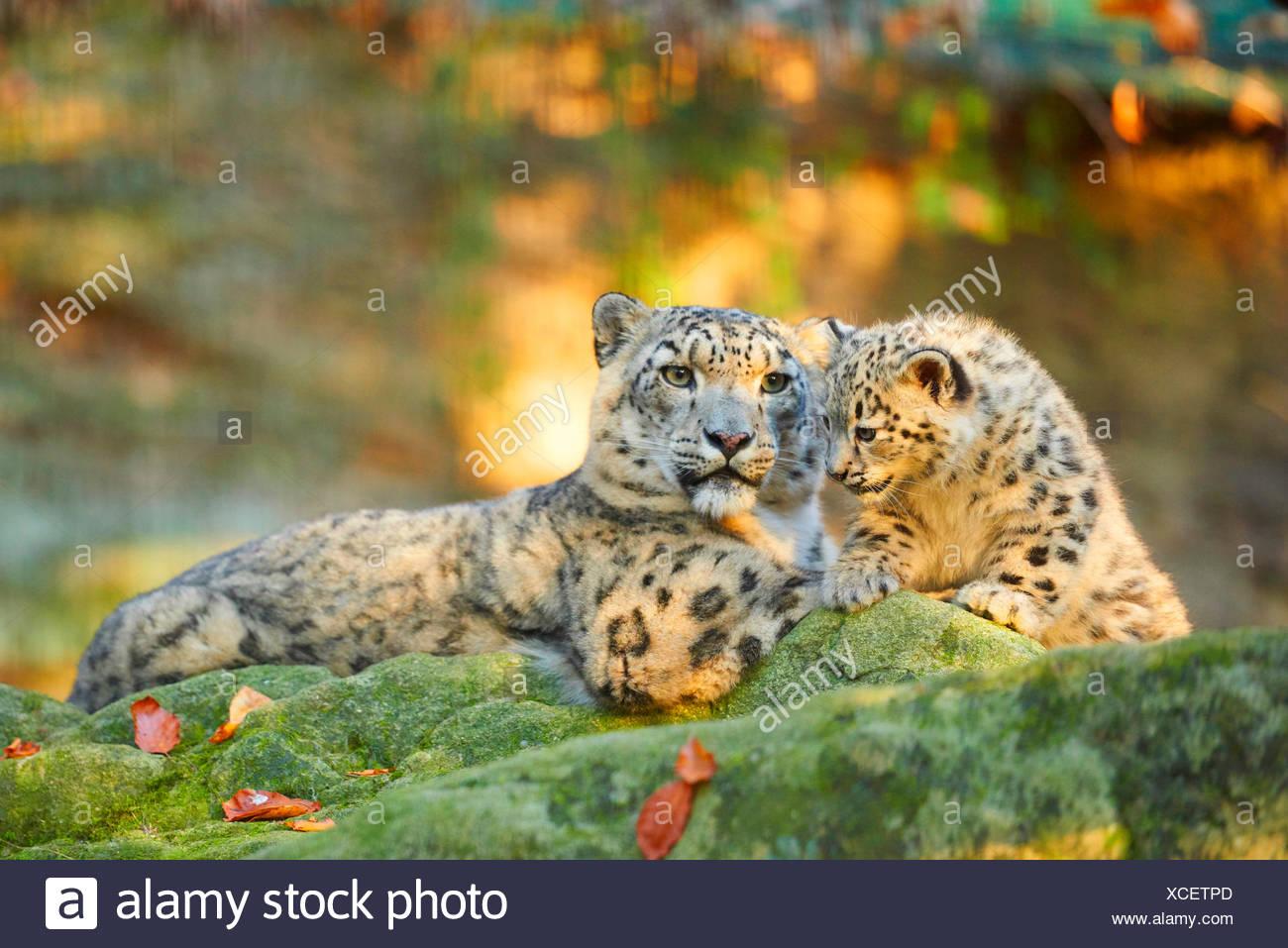 Snow Leopard (Uncia uncia, Panthera uncia), leopardesses giacente con un ragazzo su una roccia di muschio Immagini Stock