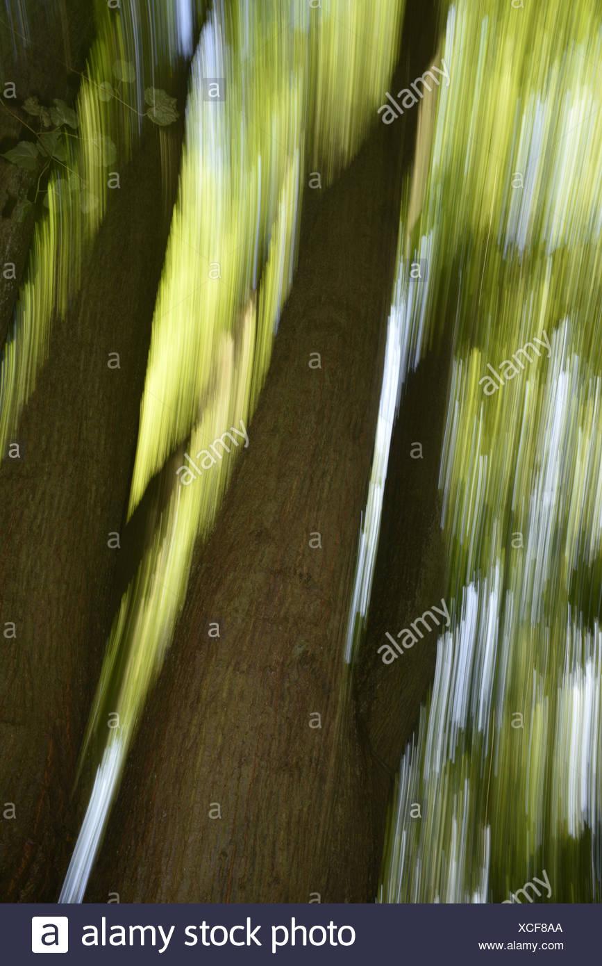 Piccolo-lasciava in calce - tilia cordata Foto Stock