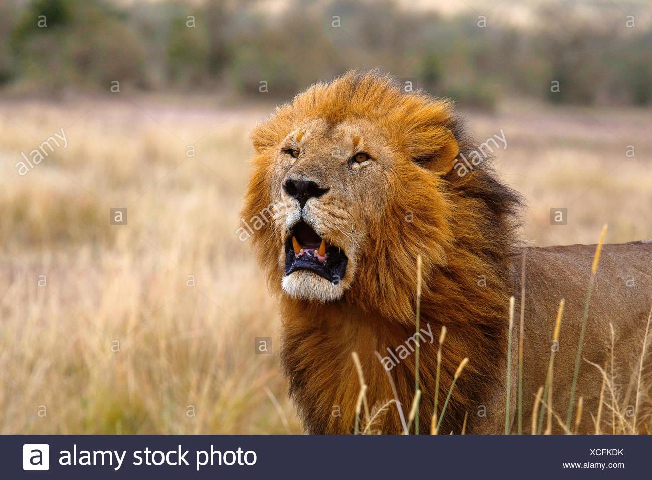 Leone africano- maschio, Kenya, Africa2 Immagini Stock