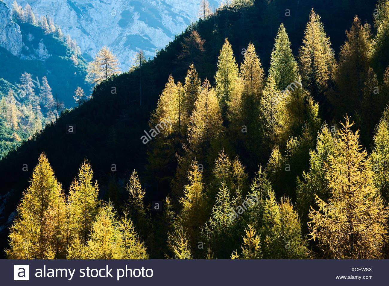 I larici in autunno. Visic Pass. Il Parco Nazionale del Triglav. Alpi Giulie. La Slovenia Immagini Stock