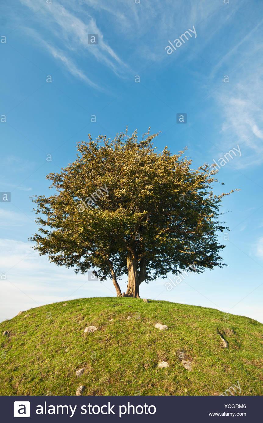 La Svezia, Skane, Osterlen, Cherry Tree sulla collina Immagini Stock