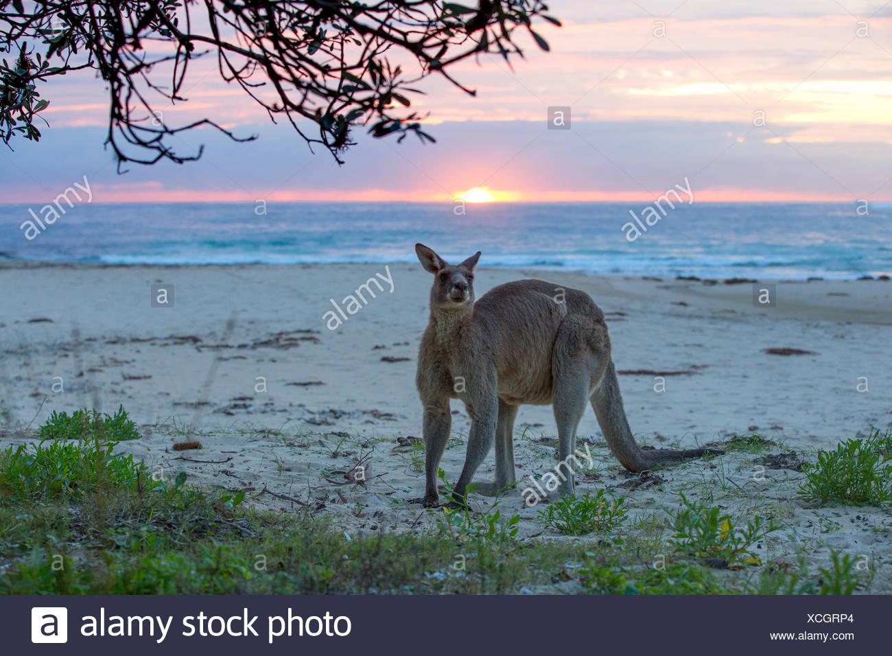 Kangaroo permanente sulla spiaggia, Australia Immagini Stock