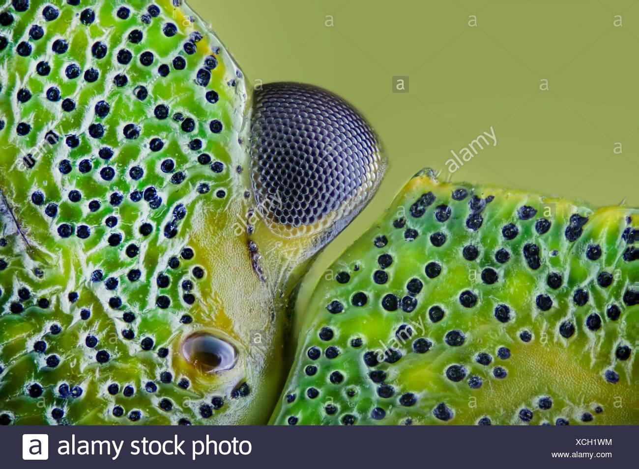 Wanzen (Heteroptera, Hemiptera), Auge einer gruenen Wanze | heteropterans, vero bugs (Heteroptera, Hemiptera), occhio di un verde bu Immagini Stock