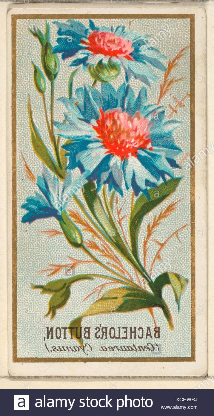 Laurea di primo livello pulsante (Centaurea cyanus), dai fiori serie per il vecchio giudice sigarette. Editore: Rilasciato da Goodwin & Company; stampante: George S. Immagini Stock