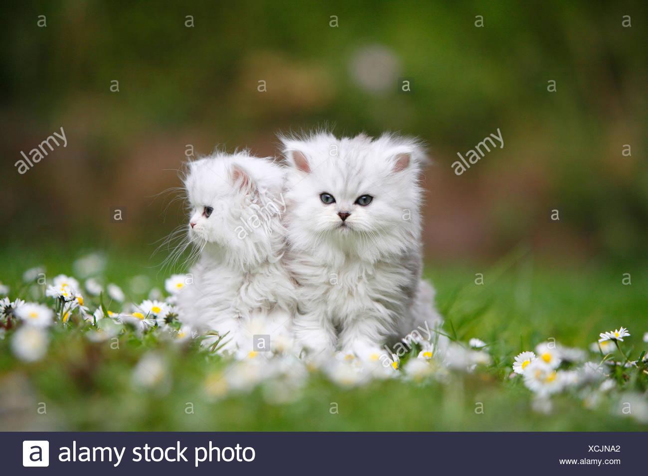 Due gattini seduti in un prato daisied appoggiato contro l'altra Immagini Stock