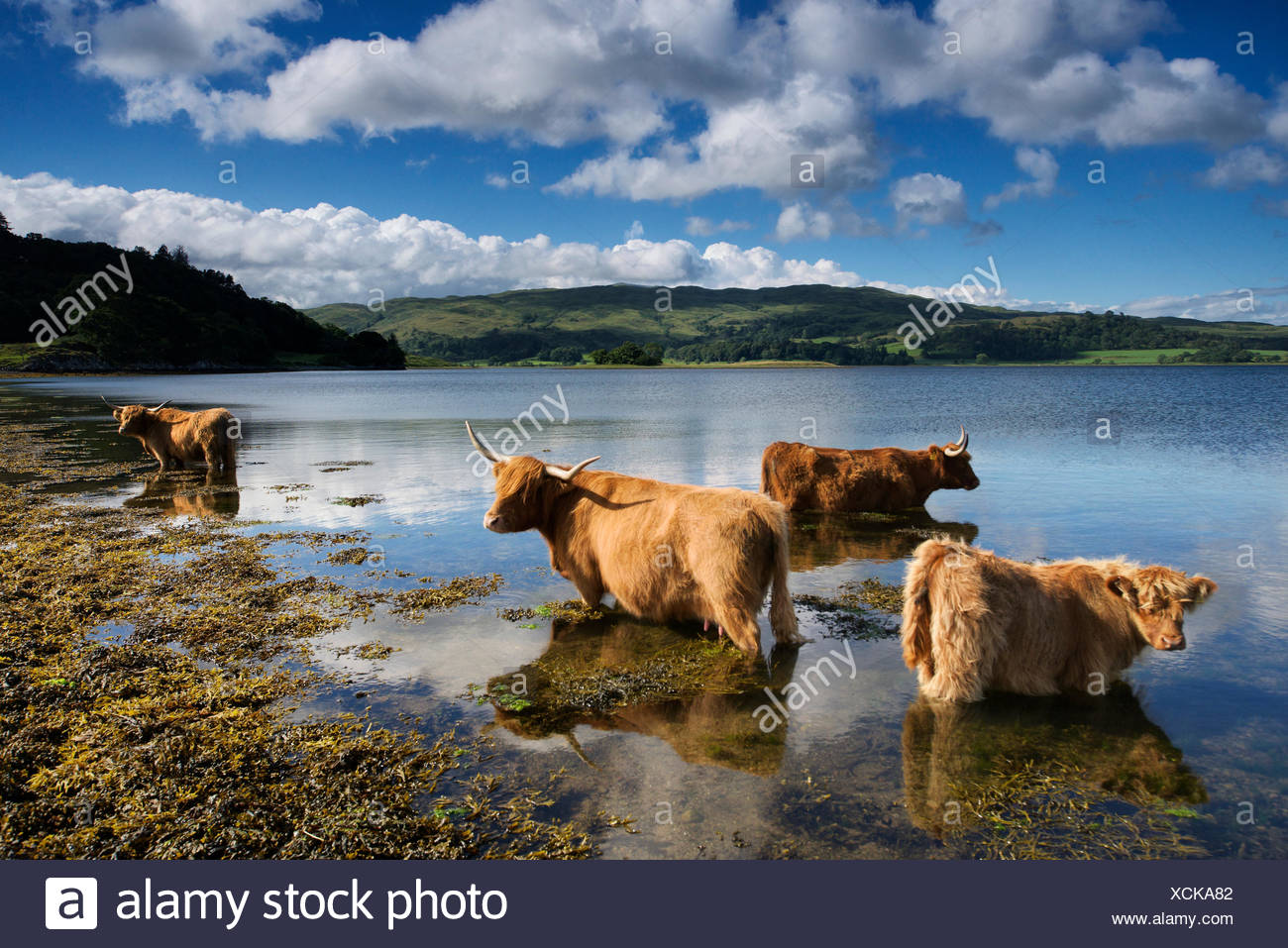 Highland bestiame in una fattoria Connel. Immagini Stock