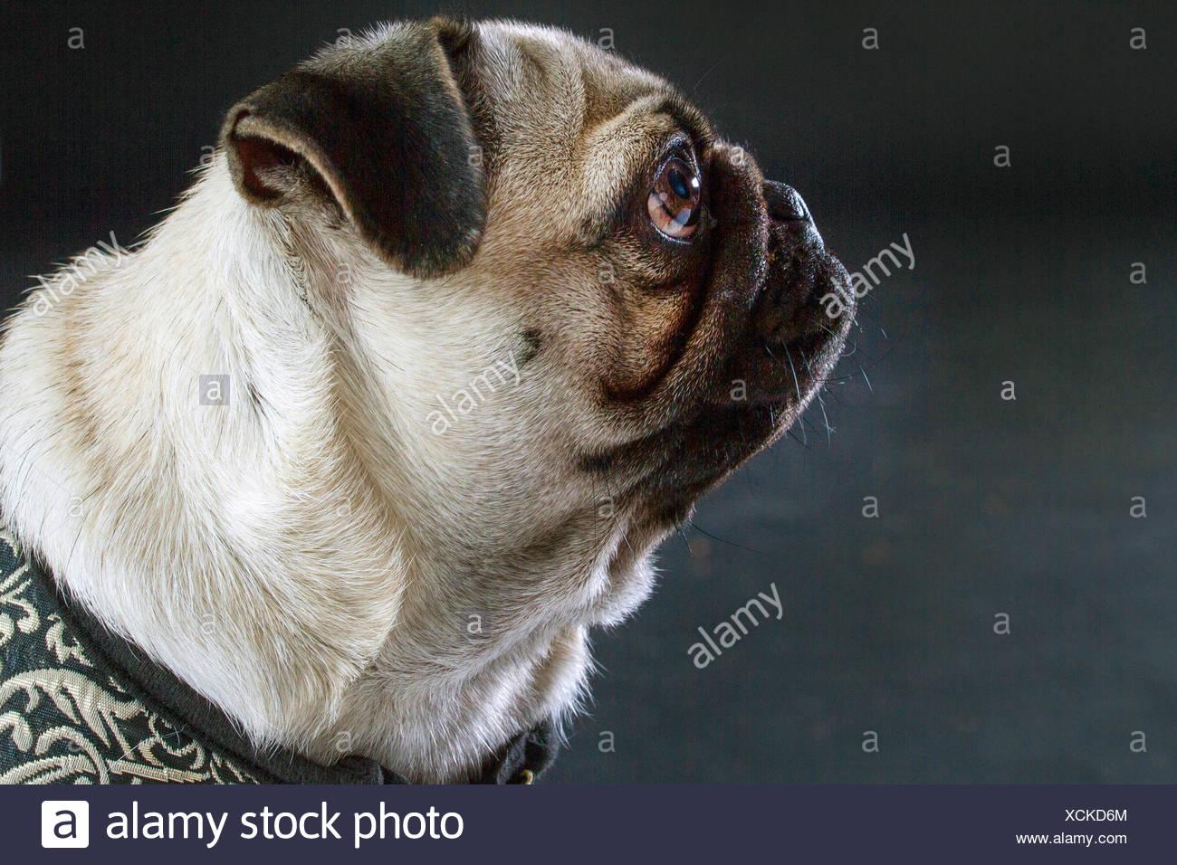 Pug (Canis lupus f. familiaris), ritratto di fronte a sfondo nero, vista laterale Immagini Stock