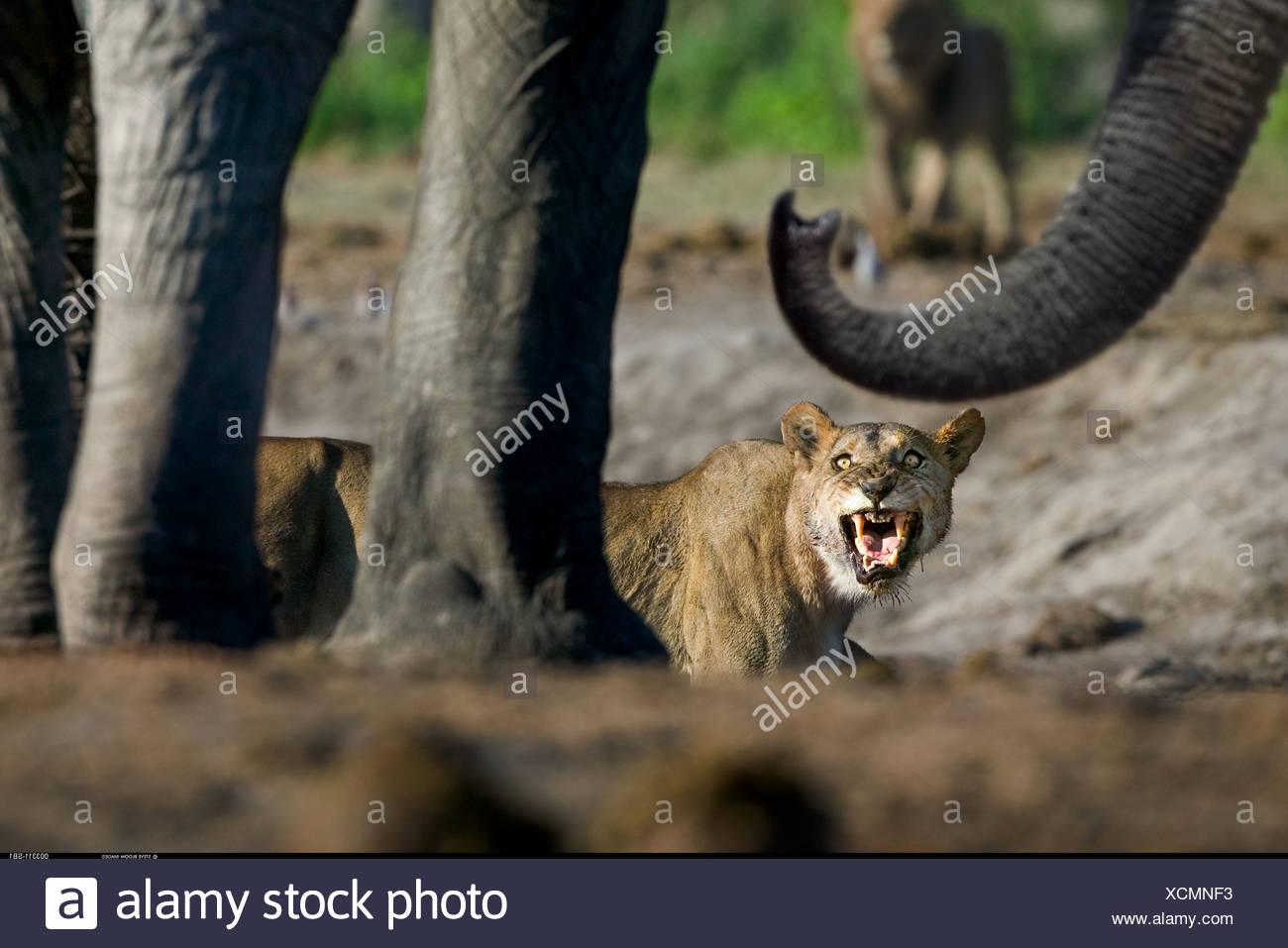 Confronto tra la leonessa e gli elefanti a waterhole Savuti Botswana Immagini Stock