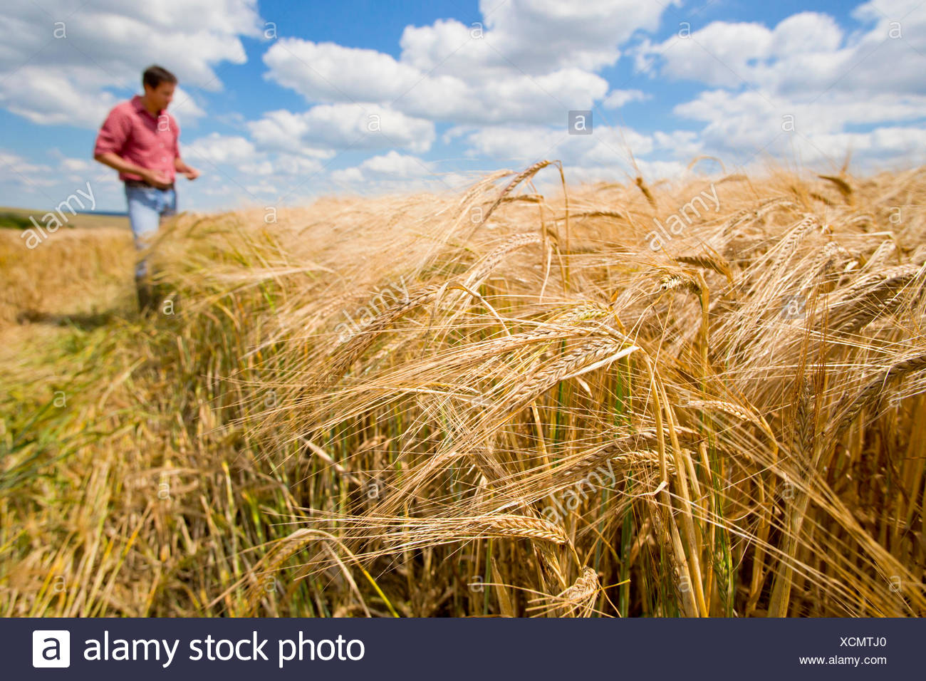Sunny rural raccolto di orzo campo in estate con il contadino in background Immagini Stock
