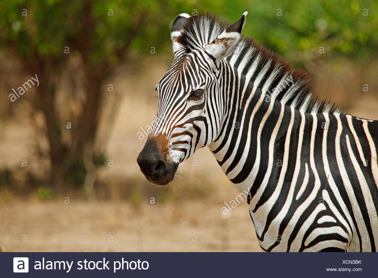 Le pianure Zebra (Equus quagga), animale ritratto, South Luangwa National Park, Zambia Immagini Stock