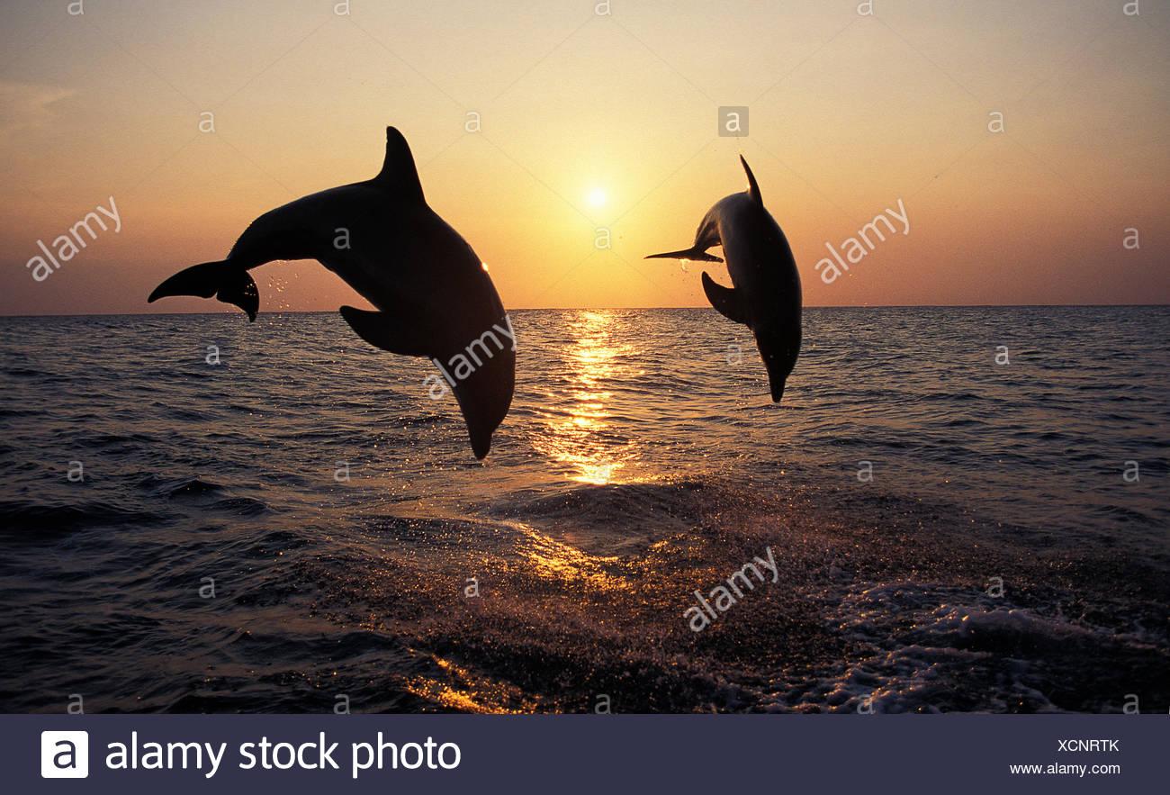 Il tursiope o delfino maggiore, tursiops truncatus, Adulti saltando al tramonto, Honduras Immagini Stock