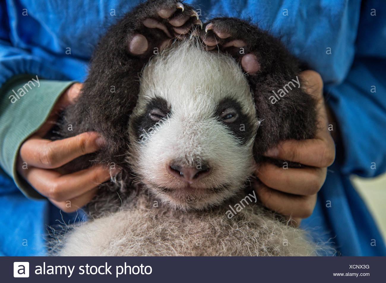 Un mese due vecchie panda gigante cub è curato a la Bifengxia Panda Gigante allevamento e centro di ricerca nella provincia di Sichuan, in Cina. Immagini Stock