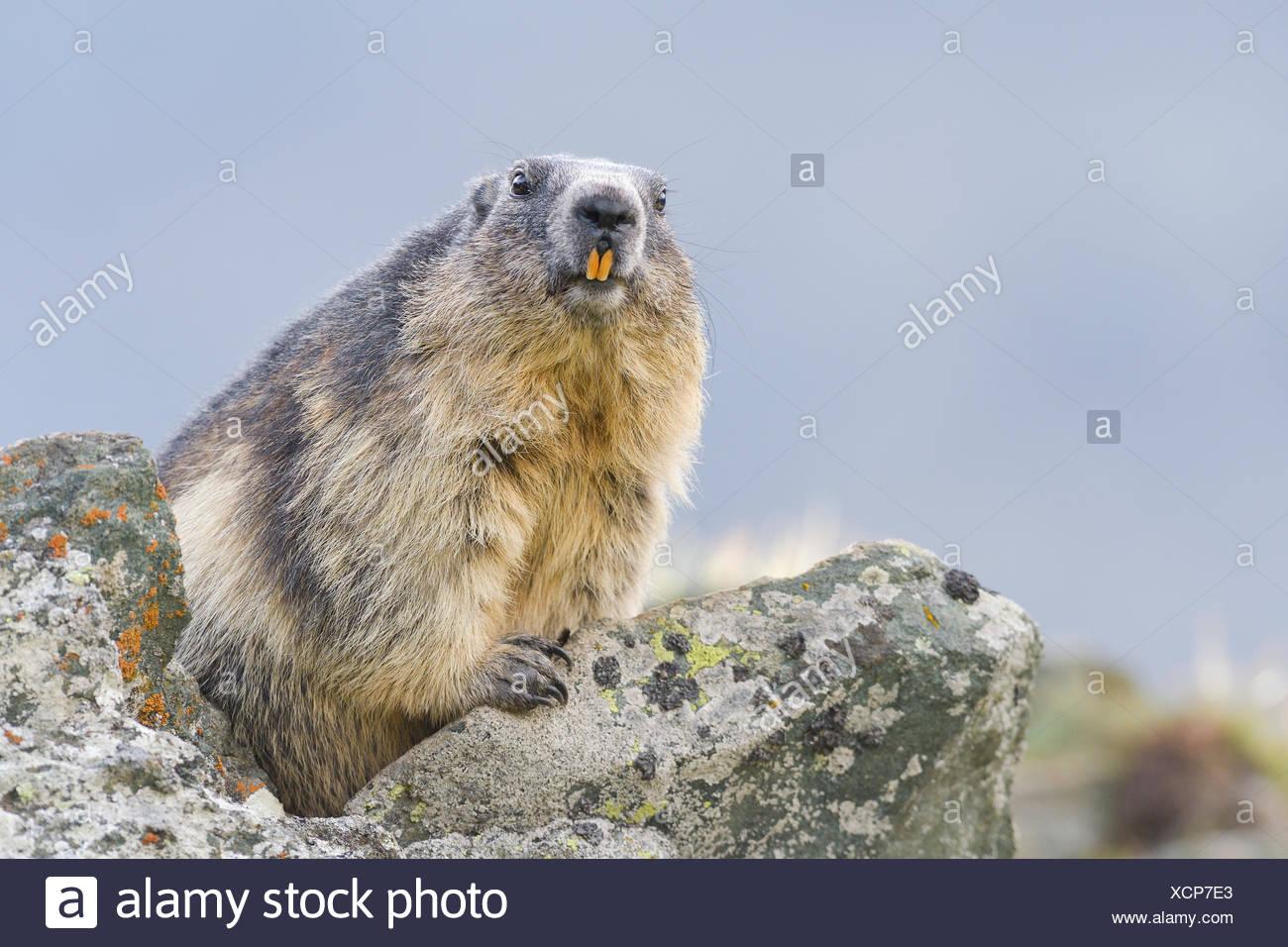 Alpine marmotta (Marmota marmota) sulle rocce, animale ritratto, parco nazionale Hohe Tauern, Carinzia, Austria Immagini Stock