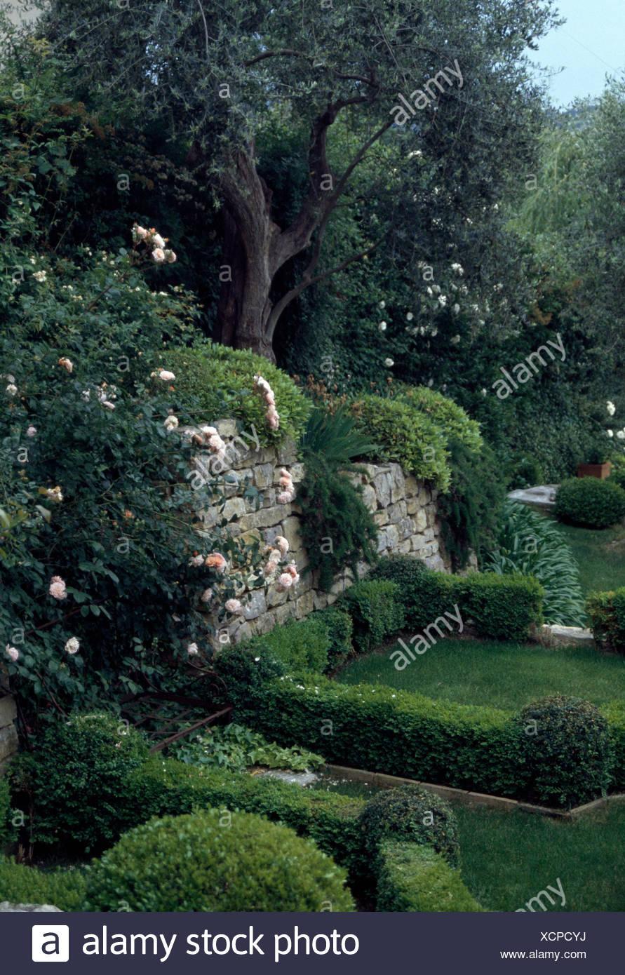 Rosa rose rampicanti su un muro di pietra in un giardino terrazzato ...