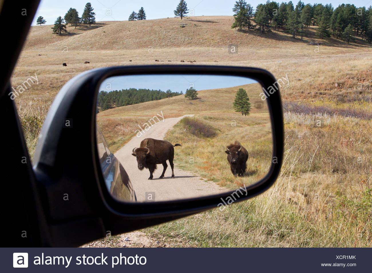 Pianure (Bison bison bison bison) in specchietto retrovisore (e allevamento in distanza), Custer State Park, Sud Dakota. Immagini Stock