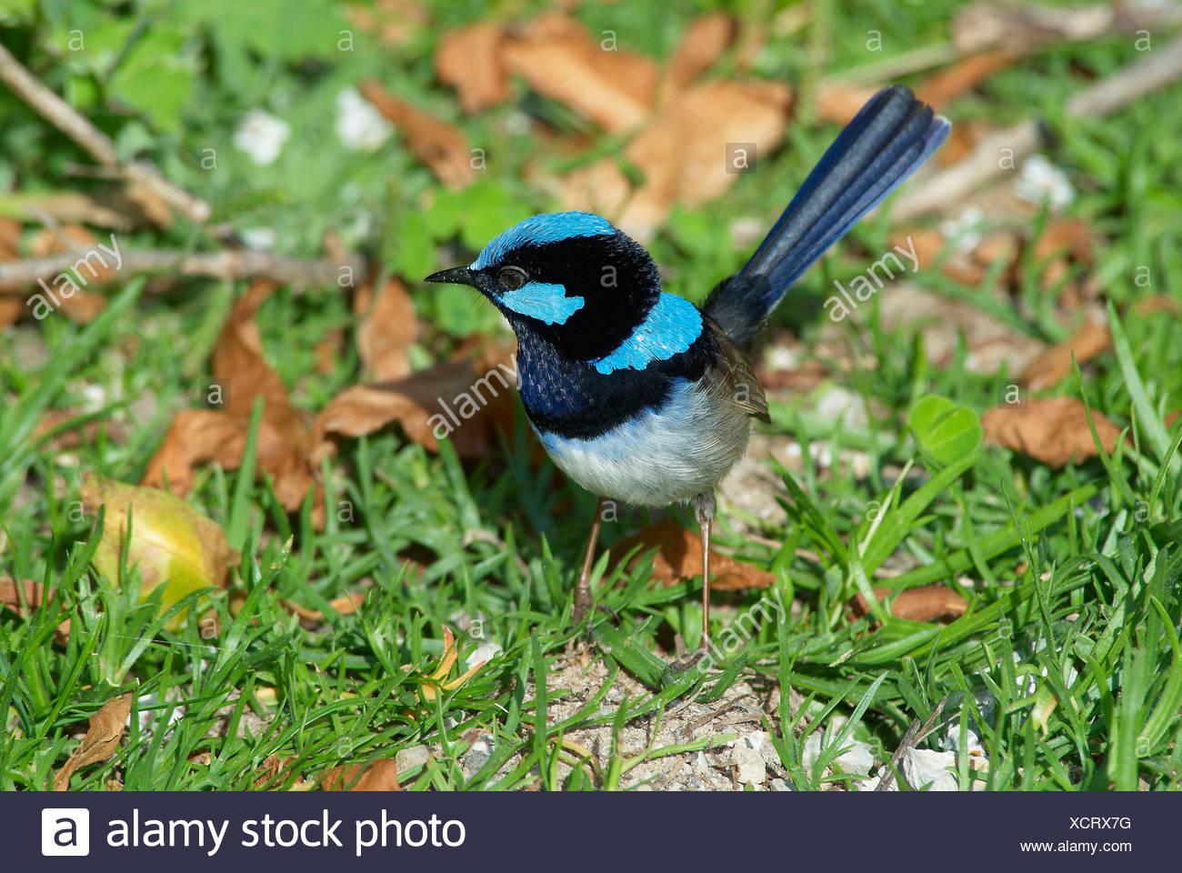 Australia, Fairy Wren, animale, Victoria, uccelli, Wilsons Promontory, parco nazionale, Physignathus Lesuerii, superba fata wren, Immagini Stock