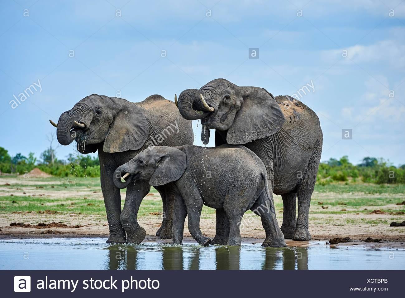 Elefante africano (Loxodonta africana) bere a watehole. Parco Nazionale di Hwange, Zimbabwe. Immagini Stock