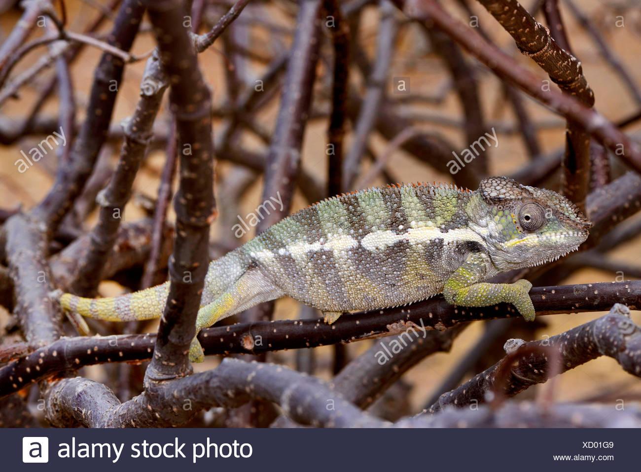 Panther chameleon (Furcifer pardalis, Chamaeleo pardalis), si siede su un rami, Madagascar, Montagne des Francais Immagini Stock