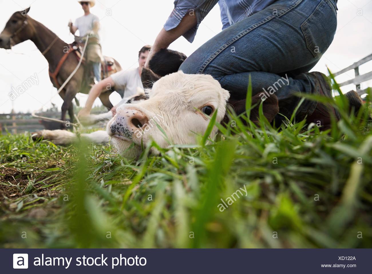 Gli allevatori di bestiame bovino di contenimento verso il basso per il branding Immagini Stock