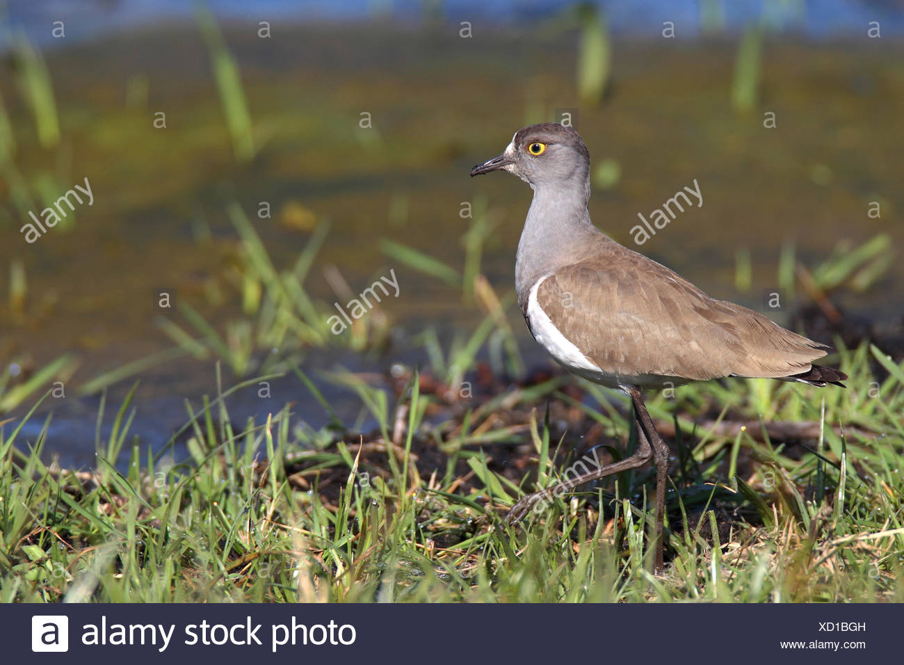 Senegal plover (Vanellus lugubris), si trova in acque poco profonde, Sud Africa, iSimangaliso Wetland Park Immagini Stock