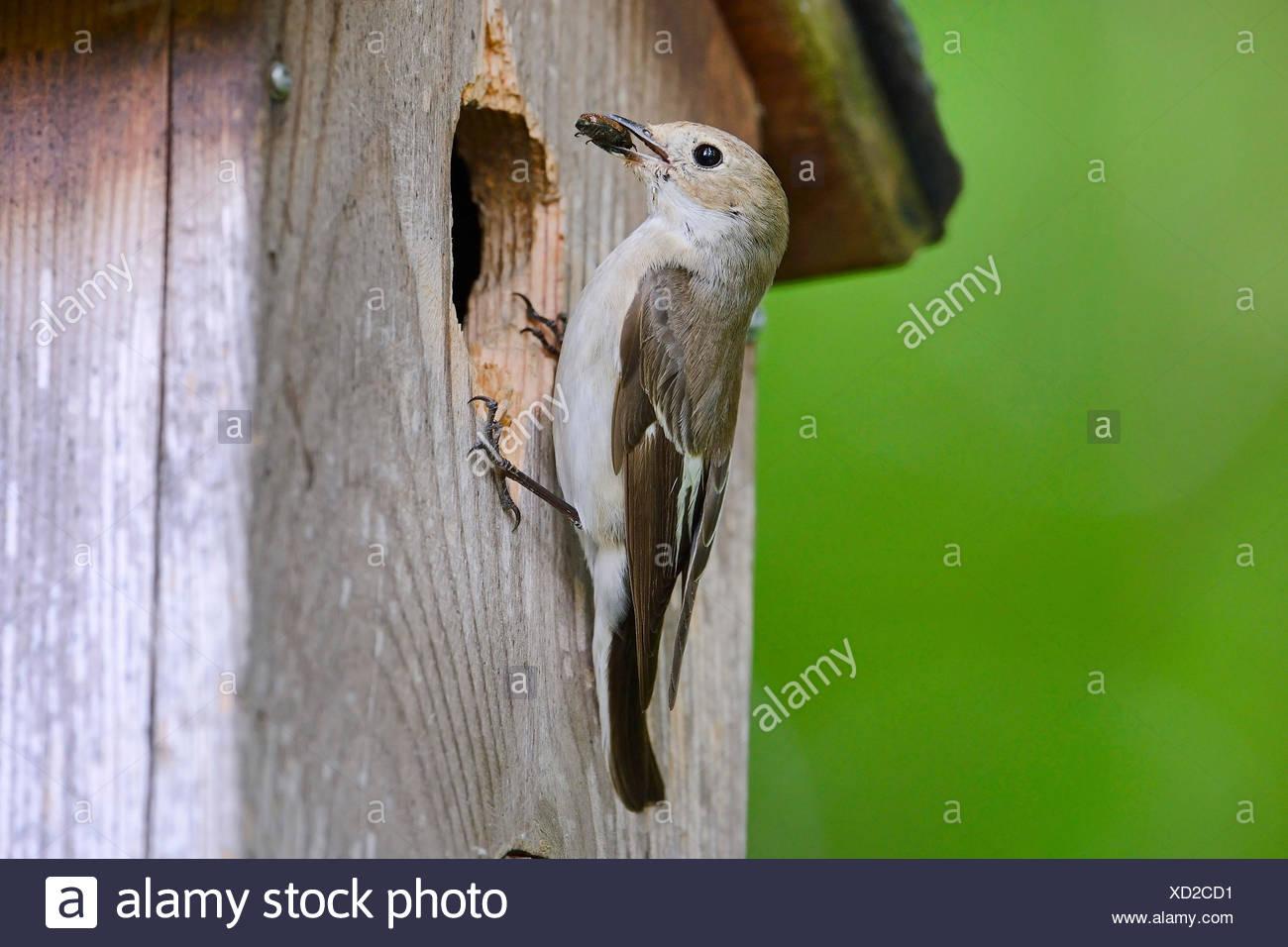 Trauerschnaepper, Trauer-Schnaepper, Trauerfliegenschnaepper, Trauer-Fliegenschnaepper (Ficedula hypoleuca), mit della Kaefer als Futt Immagini Stock