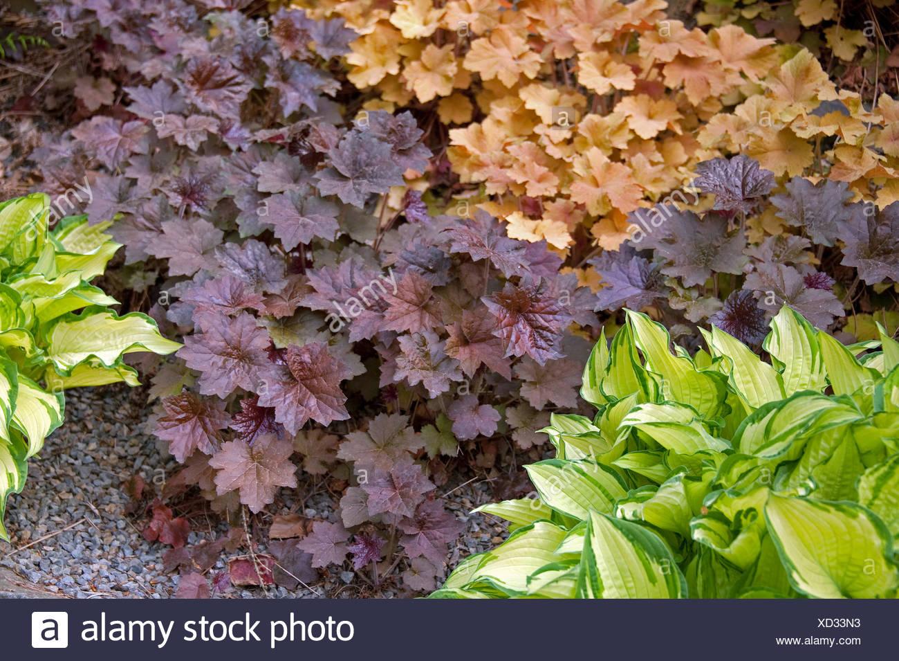 """Heuchera (Heuchera """"Palazzo viola', Heuchera Palace Purple), cultivar Palace viola Immagini Stock"""