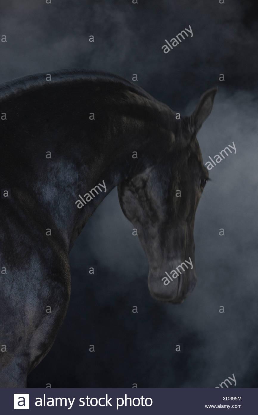 Cavallo nero nel paesaggio di nebbia Immagini Stock