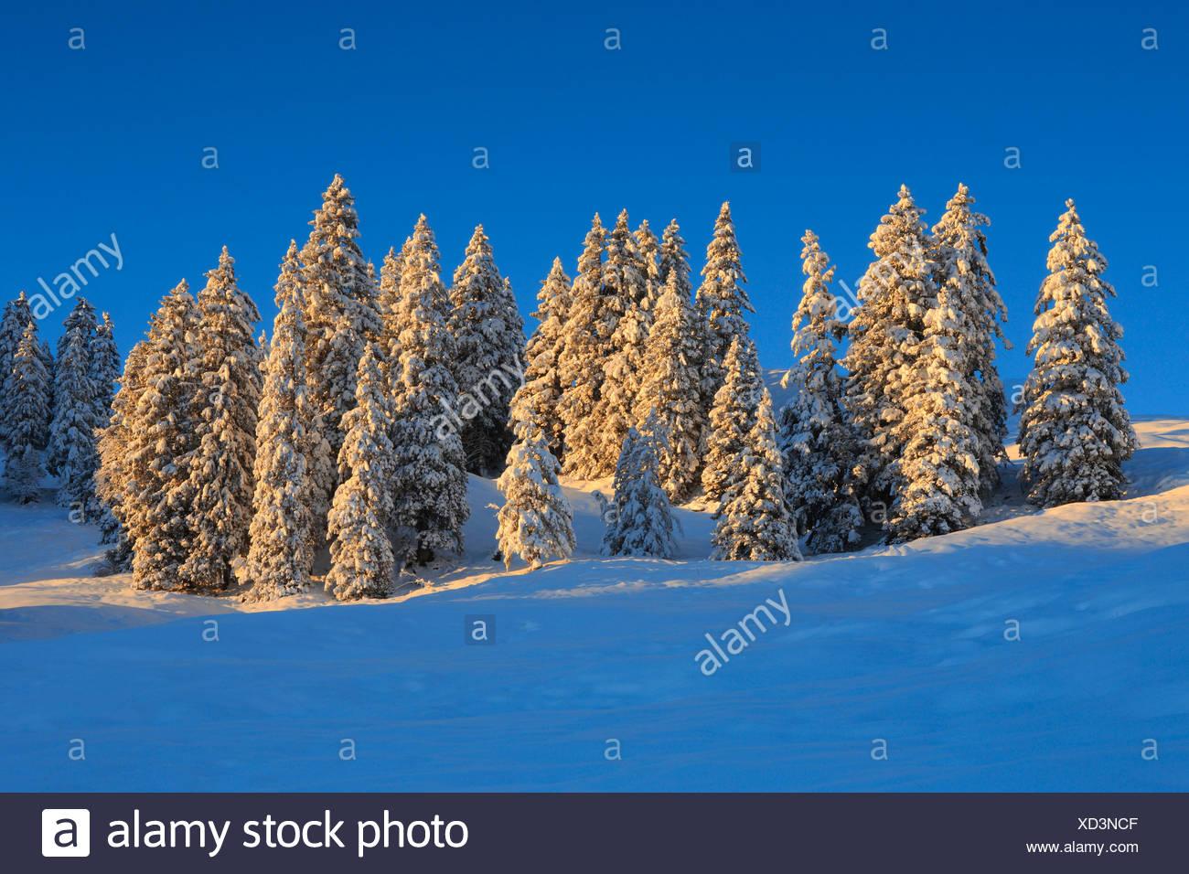 Alpi abete alberi da bosco di abeti cielo cielo La luce del mattino neve Svizzera Europa sun sunrise sunshine abete abeti in legno di abete legno f Immagini Stock