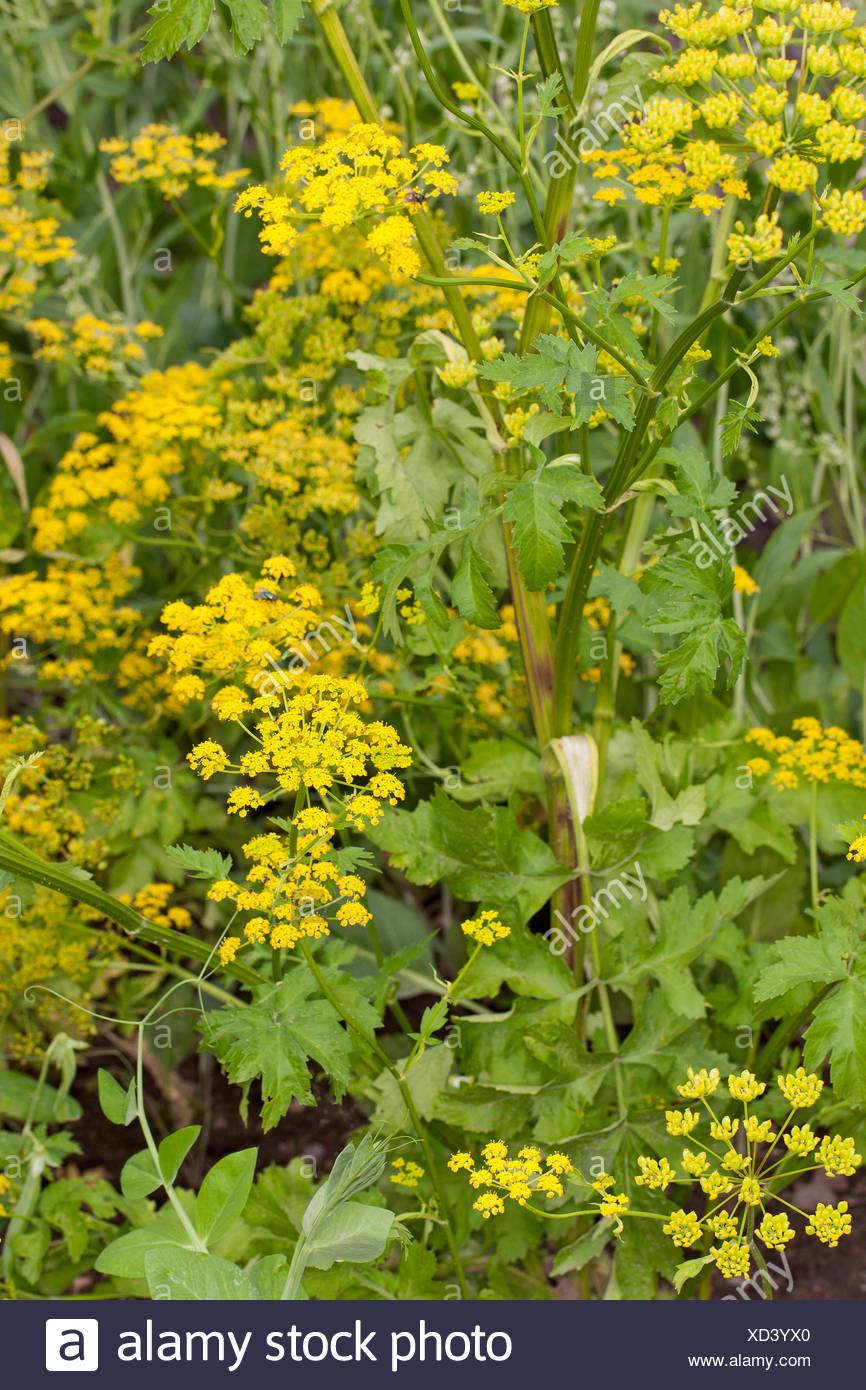 Wild pastinaca (pastinaca sativa), fiore giallo Immagini Stock