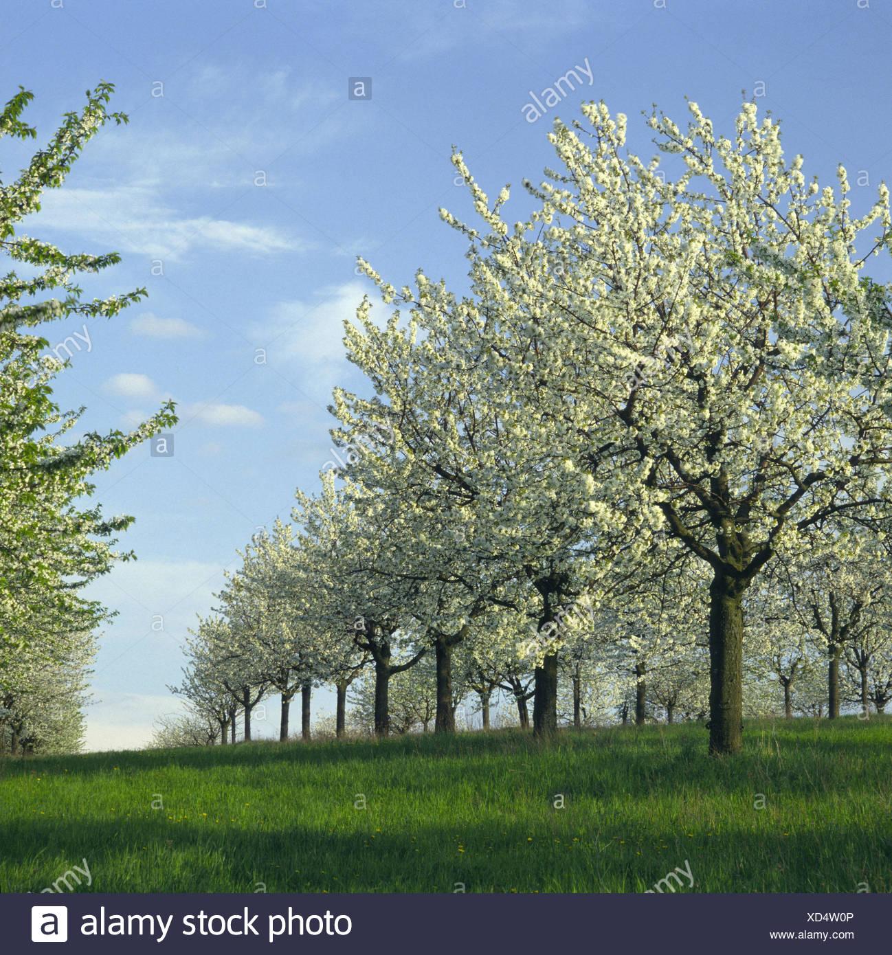 Foto Di Alberi Da Frutto la piantagione di frutta, ciliegi,, prunus avium, fiorisce