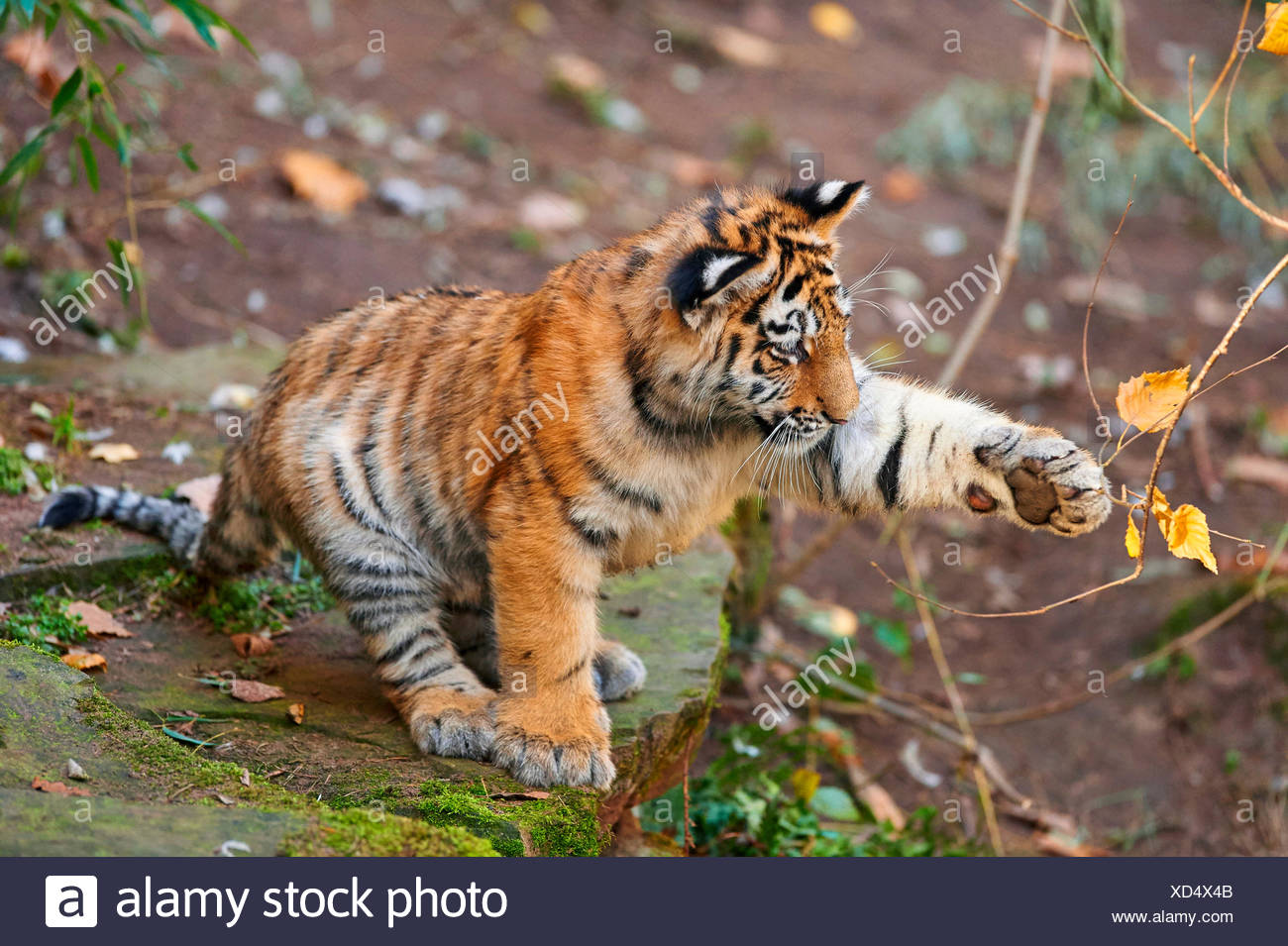 Tigre Siberiana, Amurian tiger (Panthera tigris altaica), tiger cub giocando con un ramoscello Immagini Stock
