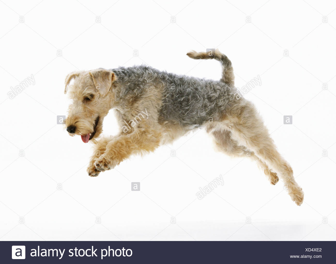 Lakeland Terrier jumping - cu out Immagini Stock