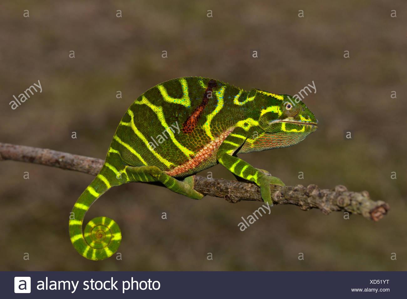 Chameleon del neo scoperto specie Furcifer timoni, femmina, Montagne d'Ambre, Madagascar Immagini Stock