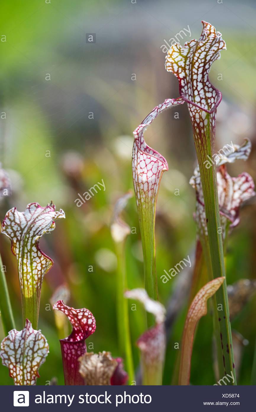 Pianta brocca (Sarracenia), pianta carnivora Immagini Stock